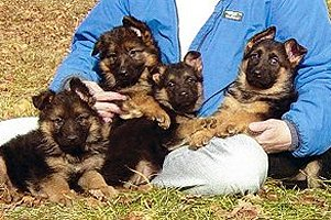 America's First Choice for Purebred GSDs