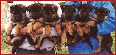 Female German Shepherd Puppies at Fleischerheim's GSDs